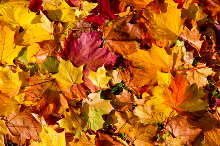 autumn leaves: Maple leaves in autumn