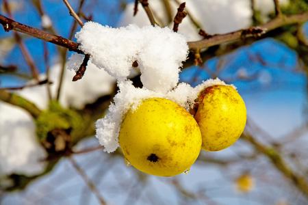 apfelbaum: Apple-Zweig von frischem Schnee bedeckt