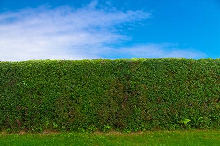 Hedge and blue sky