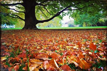color: Beech tree in autumn - park in Stuttgart, Germany