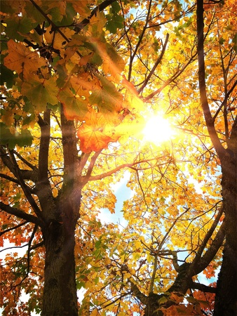 bright: Bright sun in a autumn maple tree