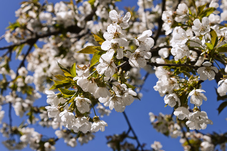 cherrytree: Cherry-tree bloom in spring, detail of some flowers  Stock Photo