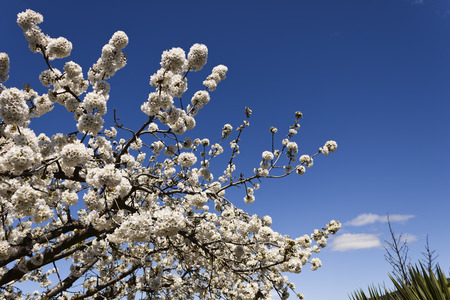 cherrytree: Cherry-tree blossom in spring, treetop over clear blue sky in a garden
