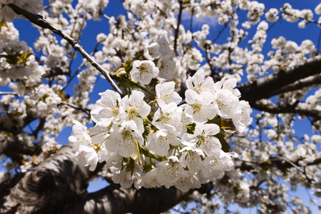 cherrytree: Cherry-tree blossom in spring, detail of flowers in a branch. Stock Photo