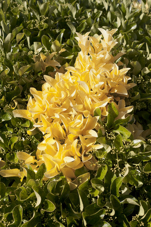 perennial: Group of yellow leaves in perennial bush