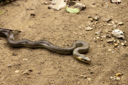 natrix: Natrix Maura on the ground. Natricine water snake of the genus of colubrid snakes Natrix. Stock Photo
