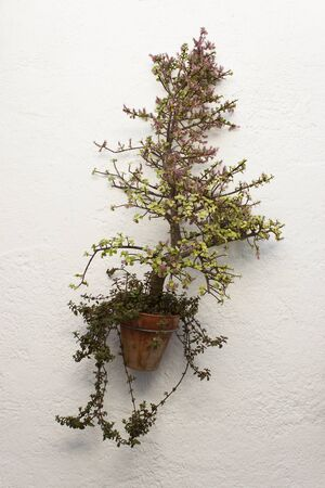 jade plant: Portucalaria Afra, Elephant Bush or Dwarf Jade Plant in a hanging pot on a white wall. It is a small-leaved succulent plant.