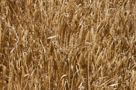coeliac: Ears of barley on the field in summer. Grain cultivation background Stock Photo
