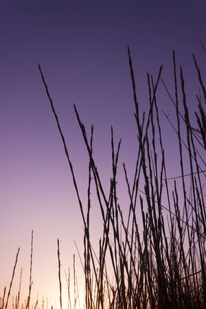 Dune grass silhouette at sunset. Violet and lilac colors