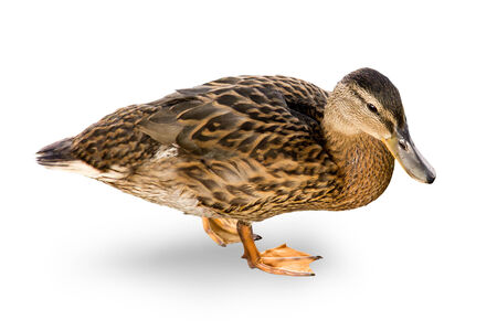 waterfowl: Brown waterfowl duck on a white background
