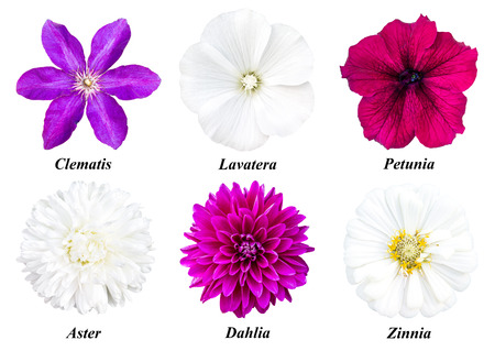 clematis: Set of six colors: purple clematis, white lavatera, burgundy petunia, white aster, dahlia fuchsia, white zinnia. Flowers on a white background with signed names. Stock Photo