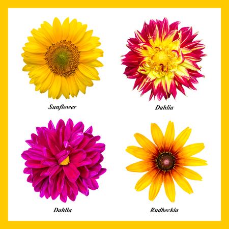 Ein Satz von vier isolierten Farben: orange Sonnenblume, rot-gelbe Dahlie, lila Dahlie, orange Rudbeckia. Blumen auf weißem Hintergrund mit vorgeschriebenen Namen. Standard-Bild