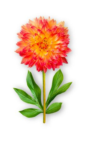 Combined unusual dahlia flower. Red-orange dahlia with peony leaves. Art object. Object on a white background. Minimalism.