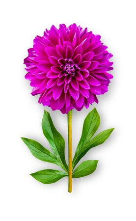 Combined unusual dahlia flower. Purple dahlia with peony leaves. Art object. Object on a white background. Minimalism.