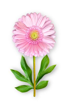 Combined unusual gerbera flower. Pink gerbera with peony leaves. Art object. Object on a white background. Minimalism.