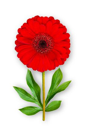 Combined unusual gerbera flower. Red gerbera with peony leaves. Art object. Object on a white background. Minimalism.