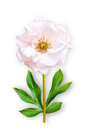 Combined unusual flower park rose. Pink park rose with peony leaves. Art object. Object on a white background. Minimalism.