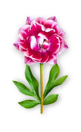 Combined unusual tulip flower. Bright pink tulip with peony leaves. Art object. Object on a white background. Minimalism. Stock Photo