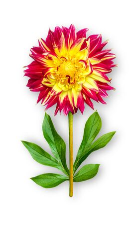 Combined unusual dahlia flower. Yellow-red dahlia with peony leaves. Art object. Object on a white background. Minimalism.