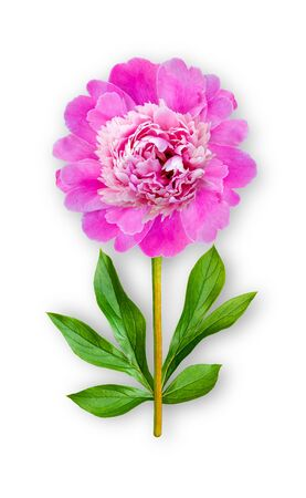 Combined unusual peony flower. Pink Peony. Art object. Object on a white background. Minimalism.