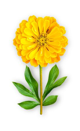 Combined unusual flower of zinnia. Yellow zinnia with peony leaves. Art object. Object on a white background. Minimalism. Stock Photo