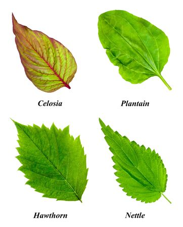 Set of isolated leaves: celosia, plantain, hawthorn, nettle. Objects on a white background.