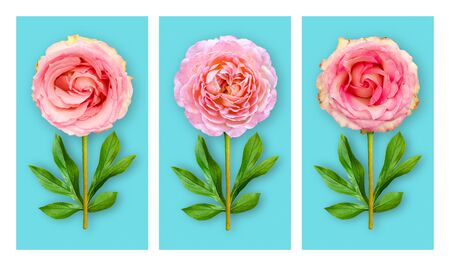 Three offbeat flowers on a blue background. Composition of pink roses with peony leaves. Art object. Minimalist style poster.