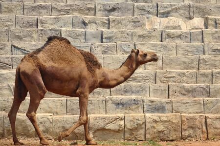 Camel Stock Photo - 10059575