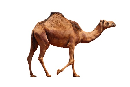 camel isolated on a white background  photo