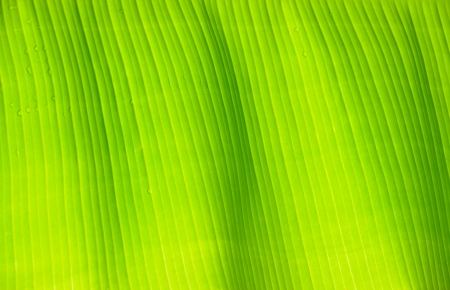banana leaf green floral natural background  photo