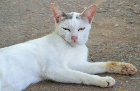 Thai cat  photo