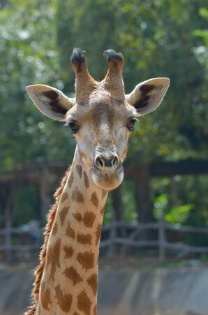 extant: La jirafa (Giraffa camelopardalis) es un africano, incluso mam�feros ungulados de dedos, el m�s alto de todas las especies animales existentes de vida de la tierra, y el m�s grande de los rumiantes. Foto de archivo