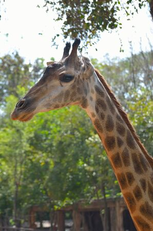 extant: The giraffe (Giraffa camelopardalis) is an African even-toed ungulate mammal, the tallest of all extant land-living animal species, and the largest ruminant.  Stock Photo