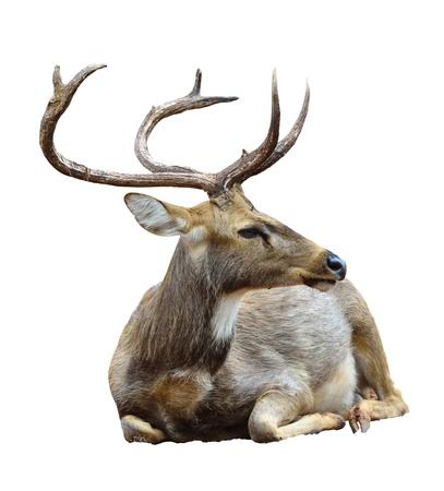 wapiti: Deer  isolated on white background  Stock Photo
