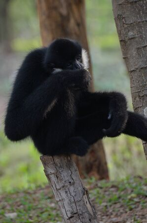hominid: Cheek Gibbon Bianco