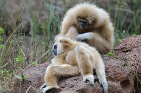 handed gibbon: White handed Gibbon or Lar Gibbon