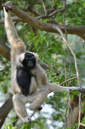 handed: White handed Gibbon or Lar Gibbon