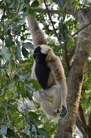 hominid: Bianco handed Gibbon o Lar Gibbon