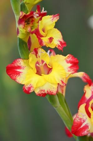 iridaceae: Bright yellow flowers of Gladioli ( Gladiolus Iridaceae )