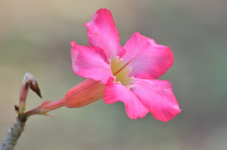 Perfect Pink Hibiscus Blossom in Natural Environment  photo