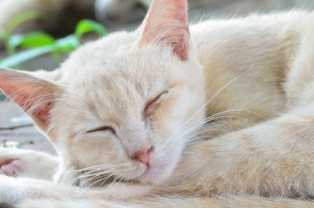 closed eyes: gemeenschappelijke Korthaar kat (gesloten ogen) Stockfoto