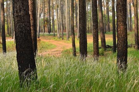 pine trees Stock Photo - 12649712