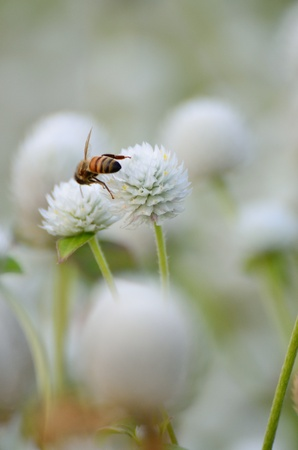 Bee at Gomphrena, tropical flowers garden  photo