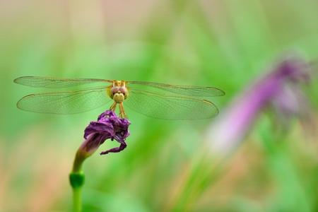 darter: Yellow-winged Darter