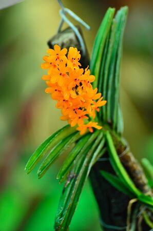 cattleya: orange orchid cattleya close up  Stock Photo