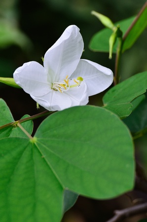 leguminosae: Galaong, Snowy Orchid Tree , Bauhinia acuminata Linn    Stock Photo
