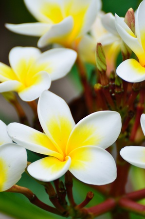 Beautiful white flower in thailand, Lan thom flower Stock Photo - 12973350