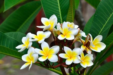 Beautiful white flower in thailand, Lan thom flower Stock Photo - 12974247