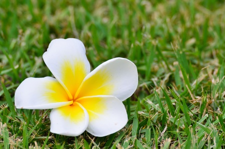 Beautiful white flower in thailand, Lan thom flower  Stock Photo - 12974124