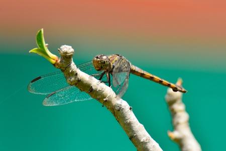 snaketail: Yellow-winged Darter